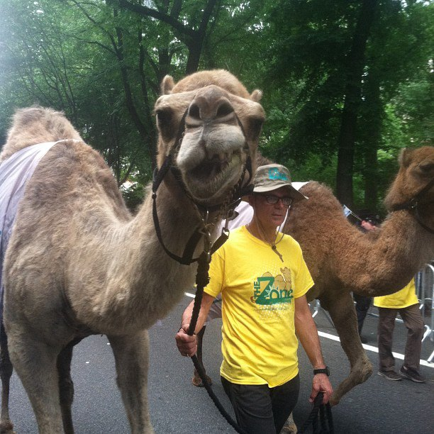 A man walking a camel during the Celebrate Israel Parade in New York City, June 2, 2013.