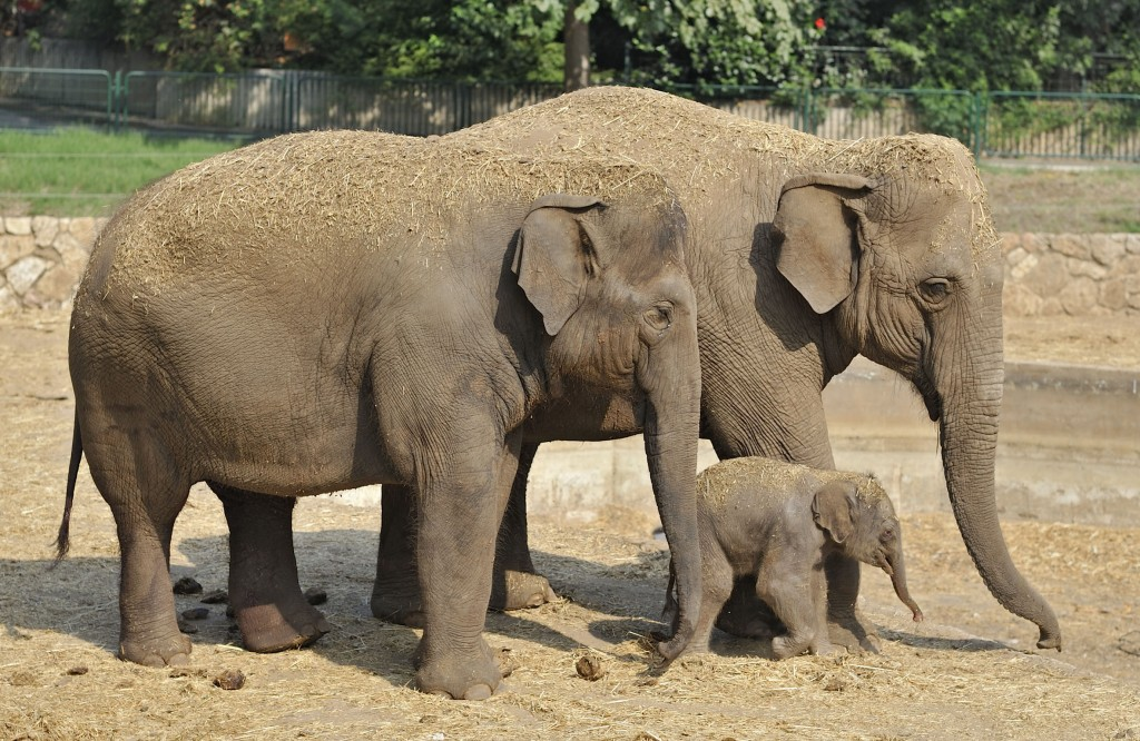 A newborn Asian elephant standing near its mother and grandmother at the Ramat Gan Safari, Aug. 2, 2013. (Tibor Jager/Ramat Gan Safari/FLASH90/JTA)