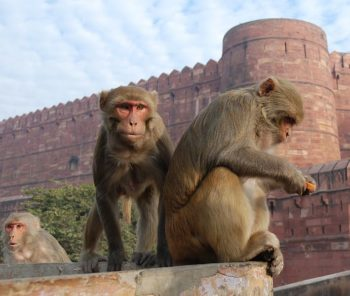 Rhesus Macaques Macaca mulatta in northern India (Thomas Schoch)
