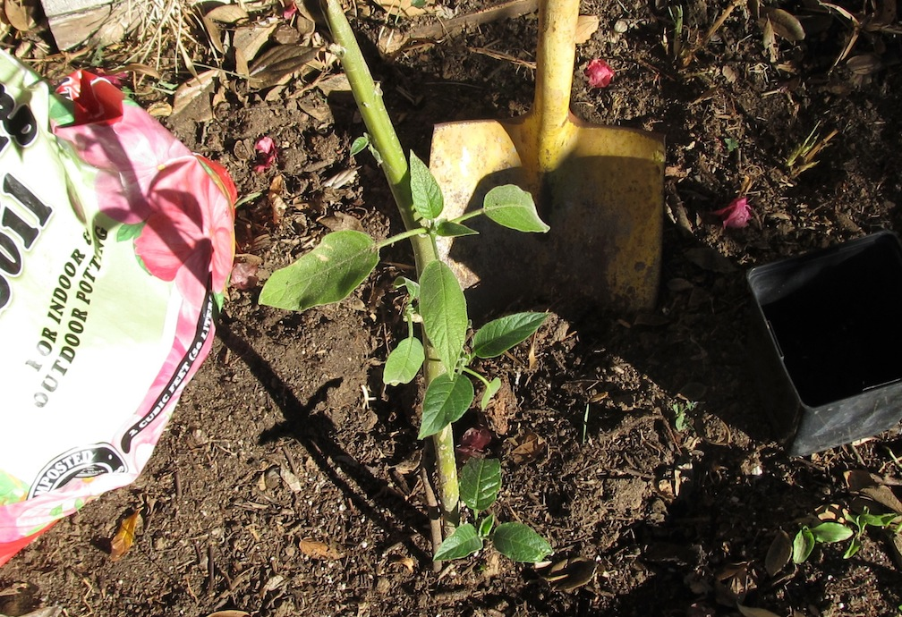 The planting of an Angel's trumpet for Tu b'Shvat by columnist Edmon J. Rodman was accompanied by an impromptu backyard service, January 2014. (Edmon J. Rodman)