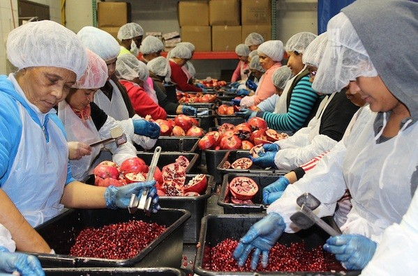 For two weeks every winter, laborers work in two eight-hour shifts daily to squeeze the 40,000 pounds of pomegranates used in Chesed 24/7's juice. (Uriel Heilman)