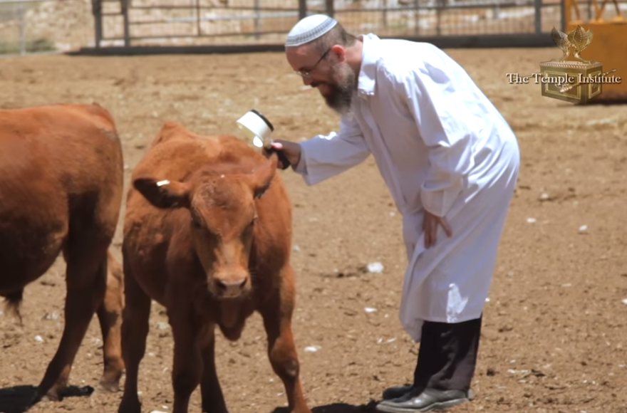 A cow being inspected in a video for The Temple Institute's Indiegogo fundraising campaign. (Screenshot: YouTube)