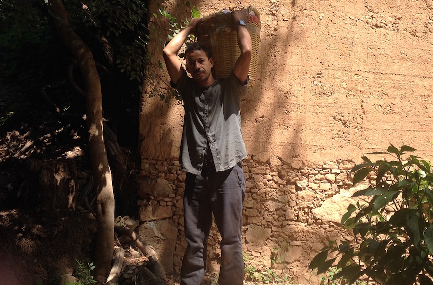 A Moroccan worker carrying etrogs on a grove in Assads, Morocco, Sept. 7, 2015.
