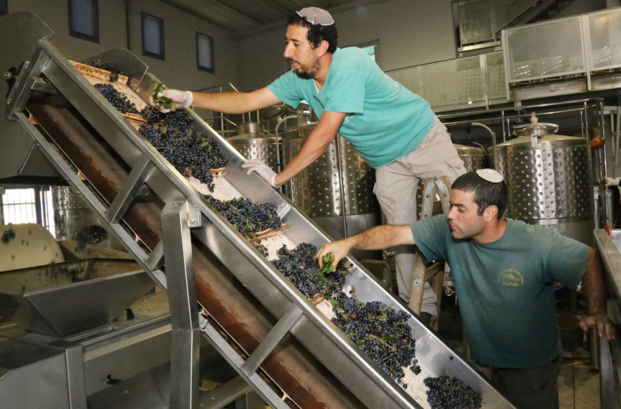Jewish winemakers inspecting grapes at a winery in the West Bank settlement of Gush Etzion, Sept. 8, 2014. (Gershon Elinson/FLASH90)