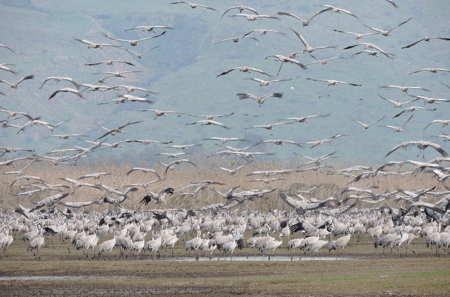 Thousands of cranes taking flight in Israel's Hula Valley. (Ben Sales)