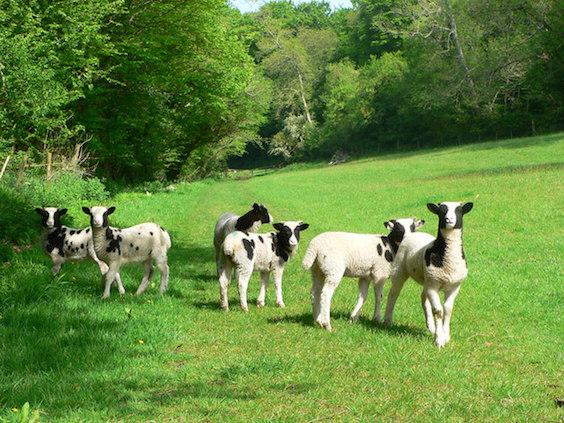 Make Way for Canadian Sheep Making Baa-aliyah