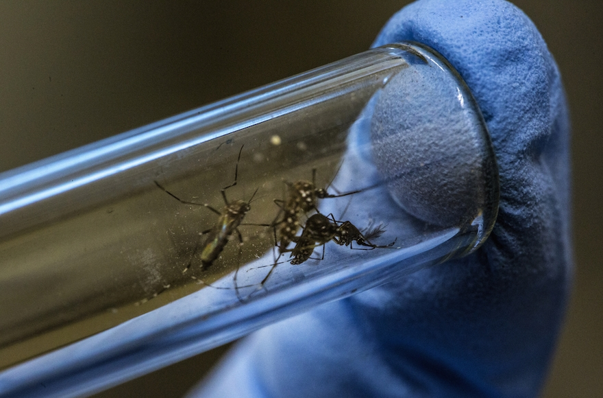 A lab technician handling the mosquito that causes the Zika virus at a research facility in Rio de Janeiro, Brazil, Feb. 19, 2016. (Dado Galdieri/Bloomberg via Getty Images)