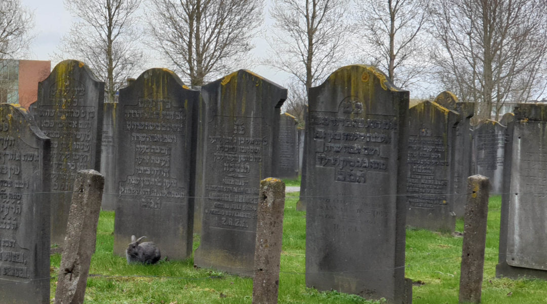 A bunny grazing at a Jewish cemetery in Haarlem, the Netherlands on March 8, 2019. (Cnaan Liphshiz)
