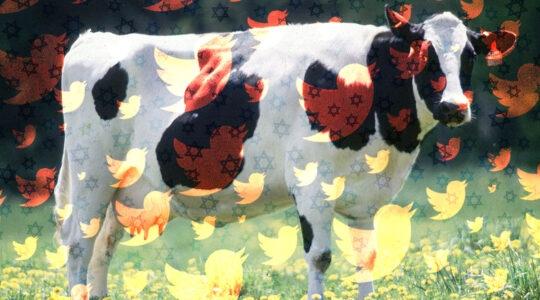 antisemitism cow