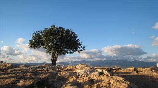 Galilee tree